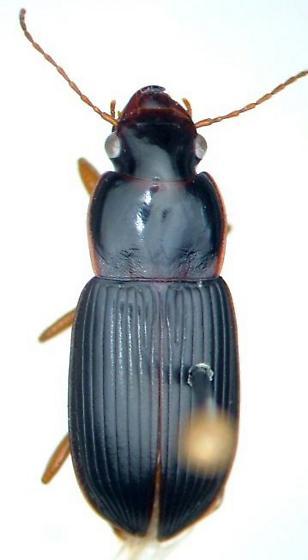 Harpalus erythropus - male