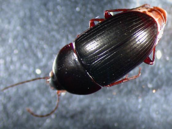 Sausage Trochanter beetle - Oodes fluvialis