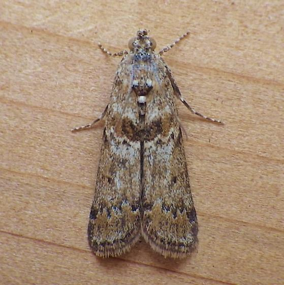 Pyralidae: Hulstia undulatella - Ancylosis undulatella