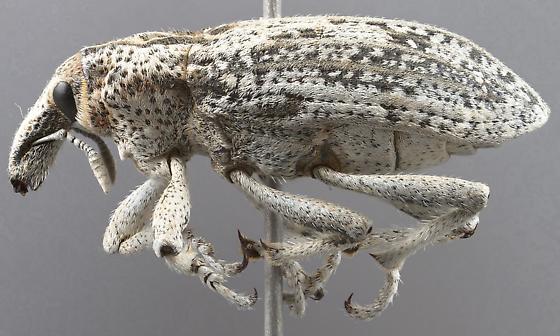Apleurus albovestitus