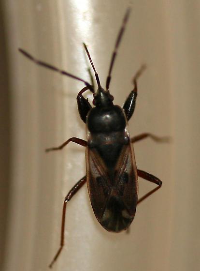Dirt-colored Seed Bug - Eremocoris