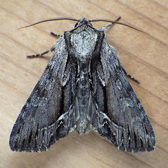 Noctuidae: Hyppa xylinoides - Hyppa xylinoides - male