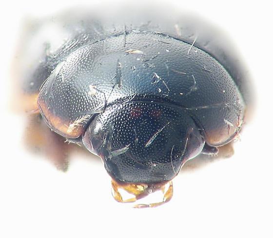 head spots on Cercyon praetextatus - Cercyon praetextatus