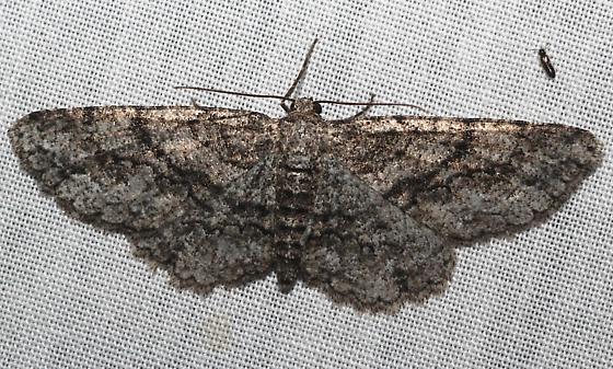 Gray Moth black lines - Glena nigricaria - female