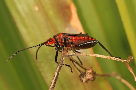True Bug nymph - Phthia picta