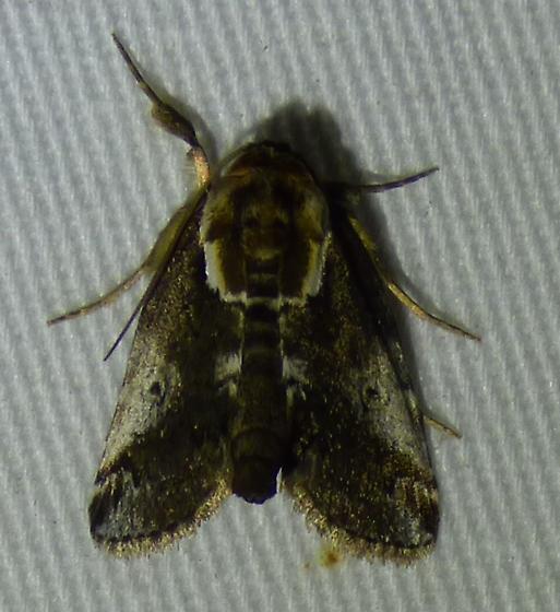 Baileya ophthalmica Eyed Baileya Moth  - Baileya ophthalmica
