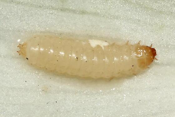 Yucca Nitidulid Larva - Carpophilus melanopterus