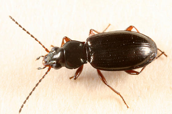ground beetle - Bembidion