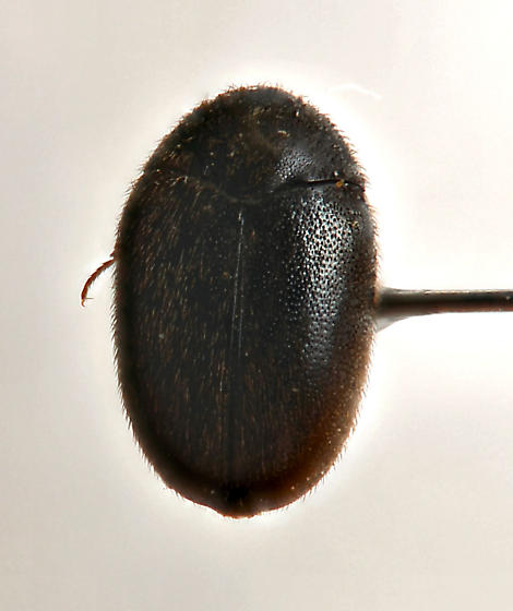 unknown beetle?? - Cryptorhopalum