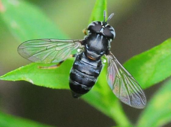 Syrphidae subgenus Paragus 1 - Paragus - female
