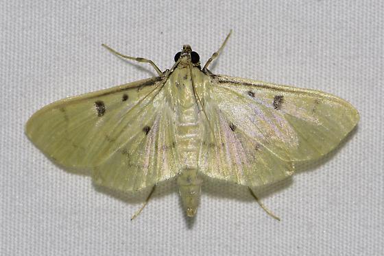 Lygropia tripunctata - Sweetpotato leafroller - Lygropia tripunctata