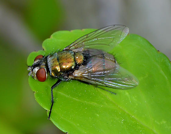 Unknown Lucilla - Lucilia sericata - female