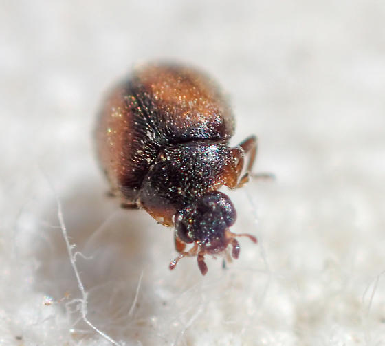 Scymnus coniferarum? - Scymnus coniferarum