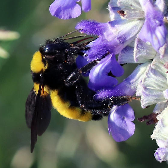 Sonoran Bumble Bee - Bombus sonorus