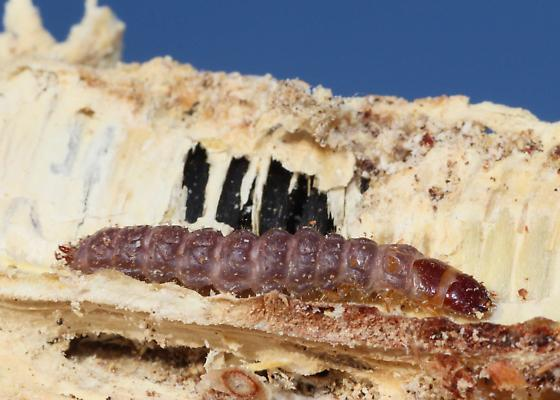 Beetle Larva on Joshua Tree Seedpod