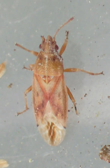 Cymus on Schoenoplectus sp. - Cymus