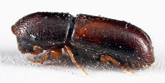 Bark Beetle - Gnathotrichus materiarius