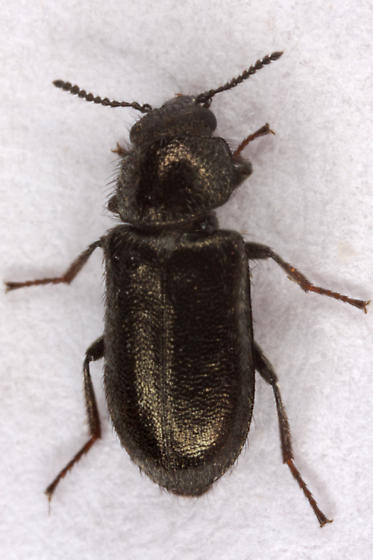 Unknown Beetle - Listropsis
