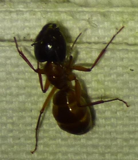ant - Camponotus americanus