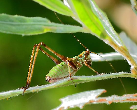 Grasshopper sp.? - Scudderia