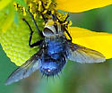 White-faced Fly? - Archytas metallicus - female