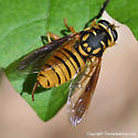 Syrphid - Temnostoma daochus