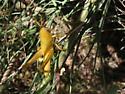 yellow grasshopper nymph - Schistocerca