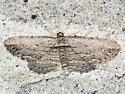 Brown Bark Carpet - Hodges#7445 - Horisme intestinata