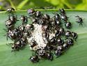 Green Stink Bug nymph hatch - Chinavia hilaris