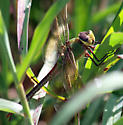 Is this a female common green darner? - Anax junius - female