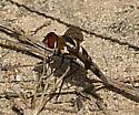 dipteran fly sp. - Exoprosopa fascipennis