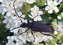 Black longhorn - Trachysida aspera