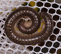 Millipede for ID