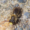 Yellow-faced bee - Andrena