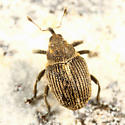small weevil - Ceutorhynchus omissus
