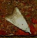 Unknown moth  - Nola cereella