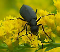 Pitch Black Beetle on Gray Goldenrod - Epicauta pennsylvanica