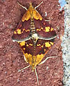 Orange Mint Moth - Pyrausta orphisalis - male - female