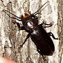 Giant Black Bug with Vicious Jaws - Mallodon dasystomus