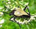 Flower Longhorned Beetle - Pachyta armata