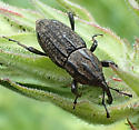 Weevil - Sphenophorus cariosus