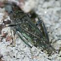 Orientus ishidae