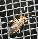 Bug with transparent wings - Liorhyssus hyalinus