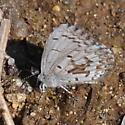 Underside - Celastrina lucia - male
