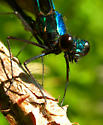 Ebony Jewelwing - Calopteryx maculata