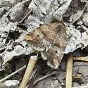 Elaphria alapallida? - Elaphria alapallida