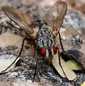 Female, Ptilodexia? - Ptilodexia