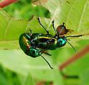 Chrysomelidae, Dogbane Beetles - Chrysochus auratus - male - female