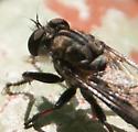E. aestuans? - Efferia - female