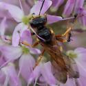Wasp - Philanthus bicinctus - female